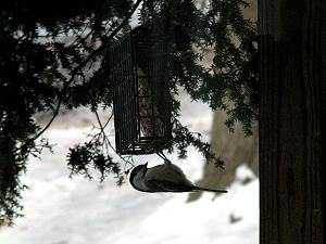 Winter birds feeding